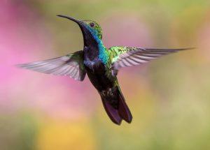 Een van de vogels die op Jamaica rondvliegt, is de kolibrie