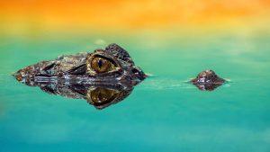 De natuur op Jamaica is verbluffend mooi. De spitssnuitkrokodil is een van de mooiste dieren van het eiland.
