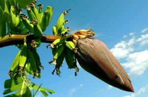 Op Jamaica groenen bananenplanten heel erg goed. De bananenteelt speelt een belangrijke rol in de geschiedenis van Jamaica.