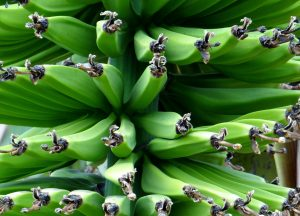 De handel in bananen is belangrijk voor de economie van Jamaica.