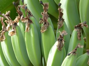 Lucea en bananen horen bij elkaar