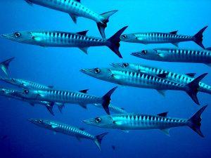 Ga op Jamaica snorkelen en je zult zeker barracuda's zien.