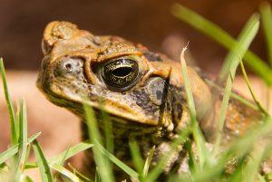 Op Jamaica leven veel verschillende amfibieën zoals de reuzenpad