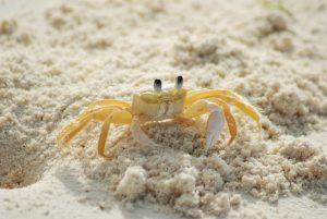 Krabben zijn onderdeel van de fauna op Jamaica.