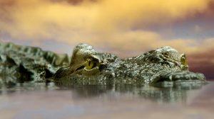 Black River Great Morass is een gebied waar krokodillen voorkomen.