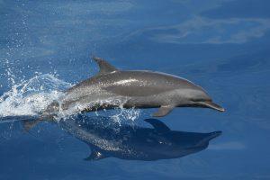 De fauna van Jamaica is overweldigend. Een van de mooiste zeezoogdieren is de dolfijn.