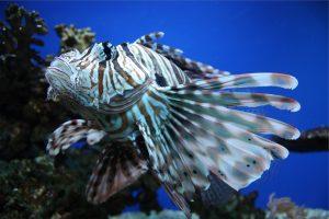 Als je naar Jamaica gaat, zul je veel vissen spotten waaronder de koraalduivel.