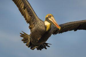 In Saint Ann's Bay zul je veel jagende pelikanen zien.