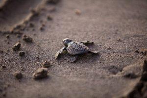 In Montego Bay Marine Park komen zeeschildpadden voor.