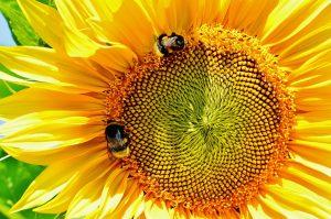 Mooie zonnebloemen in Mandeville.