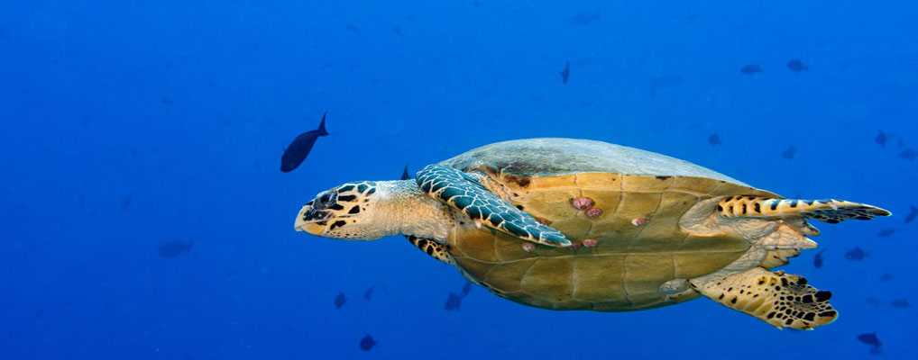 Zeeschildpad Sea turtle