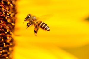 De honingbij is op Jamaica heel belangrijk voor de botanische tuinen