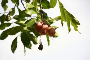 De aki wordt veel op Jamaica gegeten.