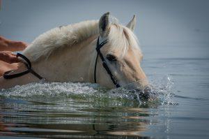 Zwemmen met paarden op Jamaica is heel erg leuk.