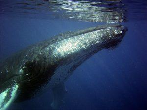 Walvissen spotten is uiteraard heel erg leuk om te doen op Jamaica.