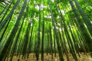 Een van de plantensoorten die je op Jamaica veelvuldig zult spotten, is bamboe.