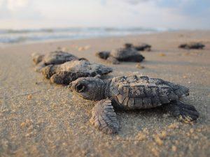 kust Jamaica zeeschildpadden